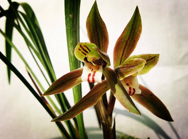 最香的兰花_兰花哪个品种最好最香 兰花最香的品种是春兰 宋梅为春兰