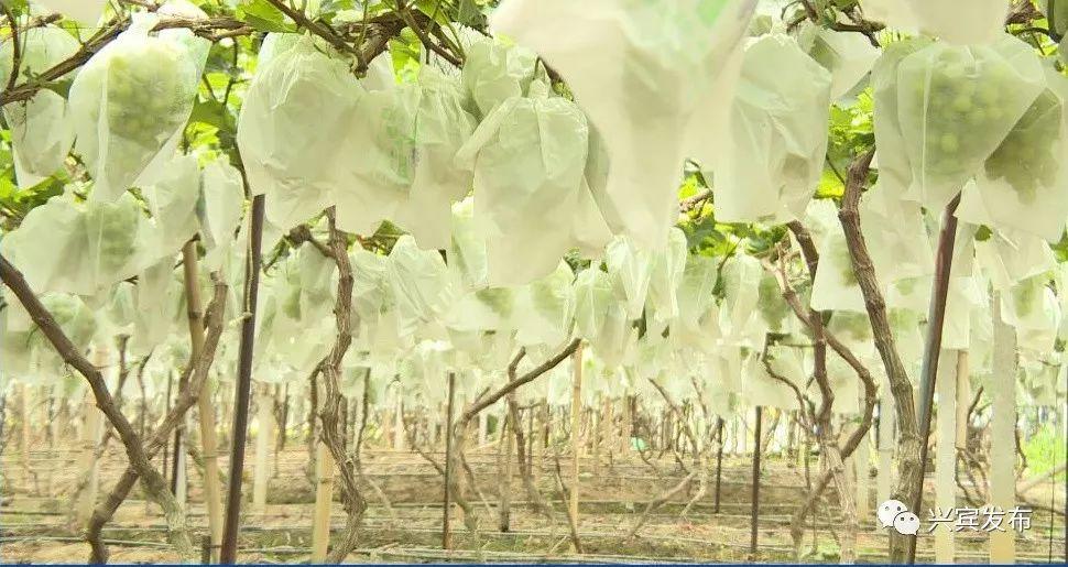 【产业】家庭农场种葡萄 特色产业效益好