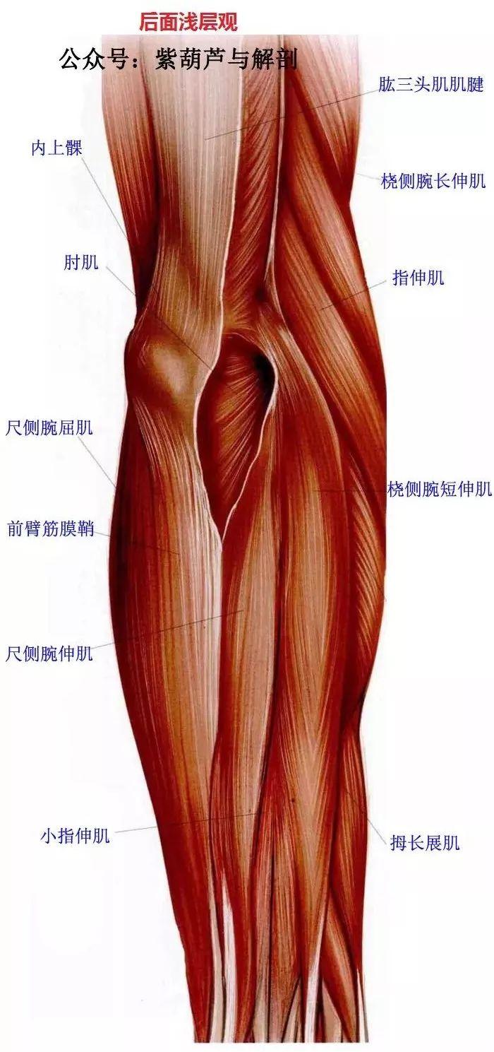 前臂与手部解剖肌肉图谱