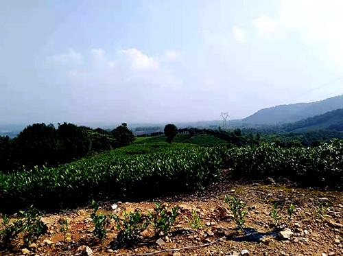 敬亭绿雪——著名慈善书画家马俊明等一行参观安徽省敬亭山茶场