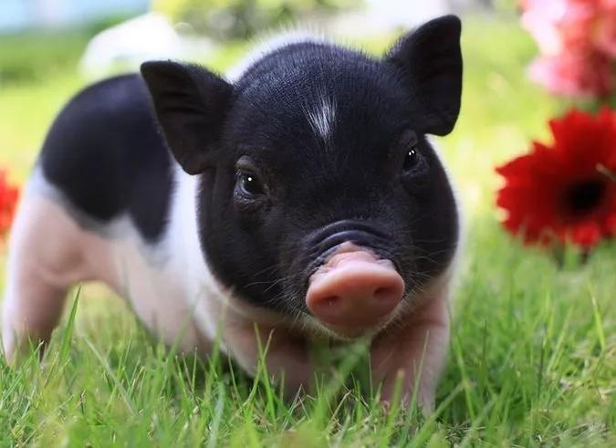 """猪也成景点特色,世上唯一的""""猪岛"""",在这儿,人不如猪是常态!"""