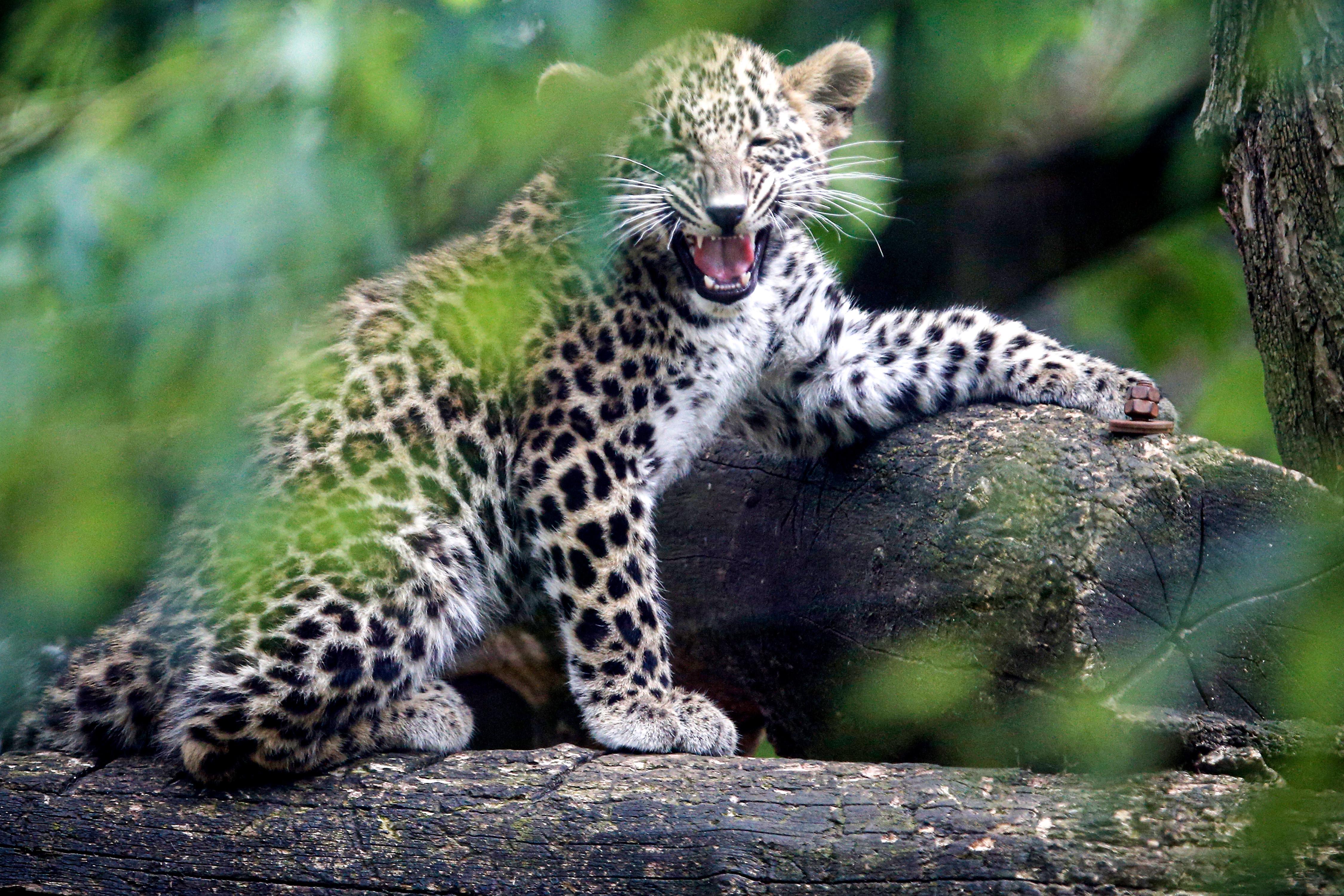 科隆动物园的小波斯豹