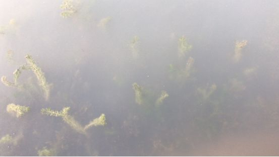 河蟹养殖中后期水草长势变弱黄根、黑根增多腐