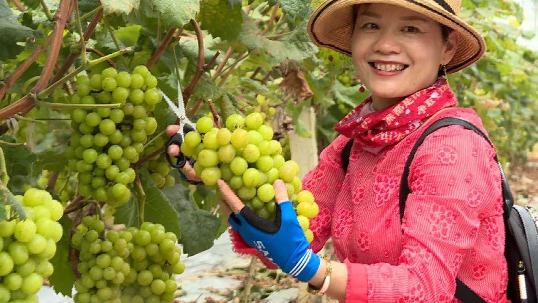 美味的葡萄成熟了!属于河源人的有机葡萄文化节来啦!(图2)