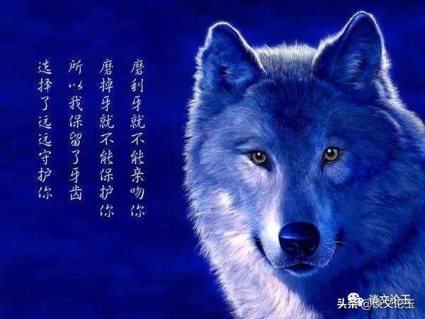 狼性之道,强者生存法则_狼群
