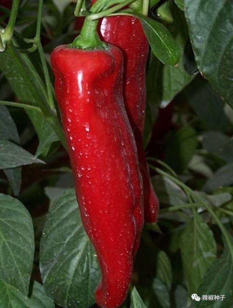 牛角椒哪个好,品种?