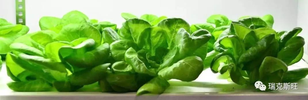 鱼菜高:减肥、营养、好吃的奶油生菜