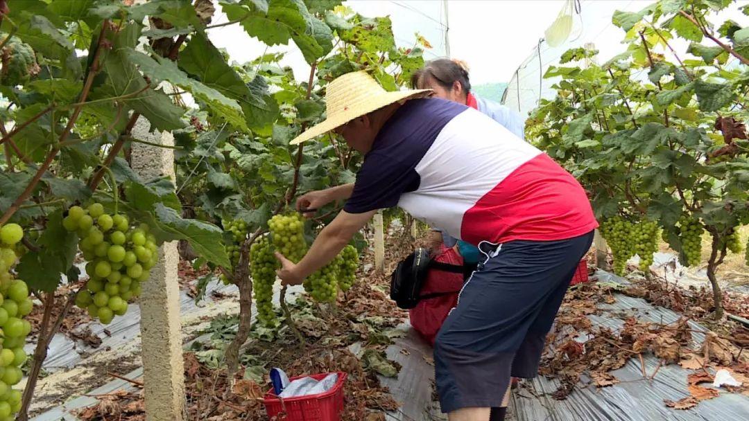 美味的葡萄成熟了!属于河源人的有机葡萄文化节来啦!(图5)