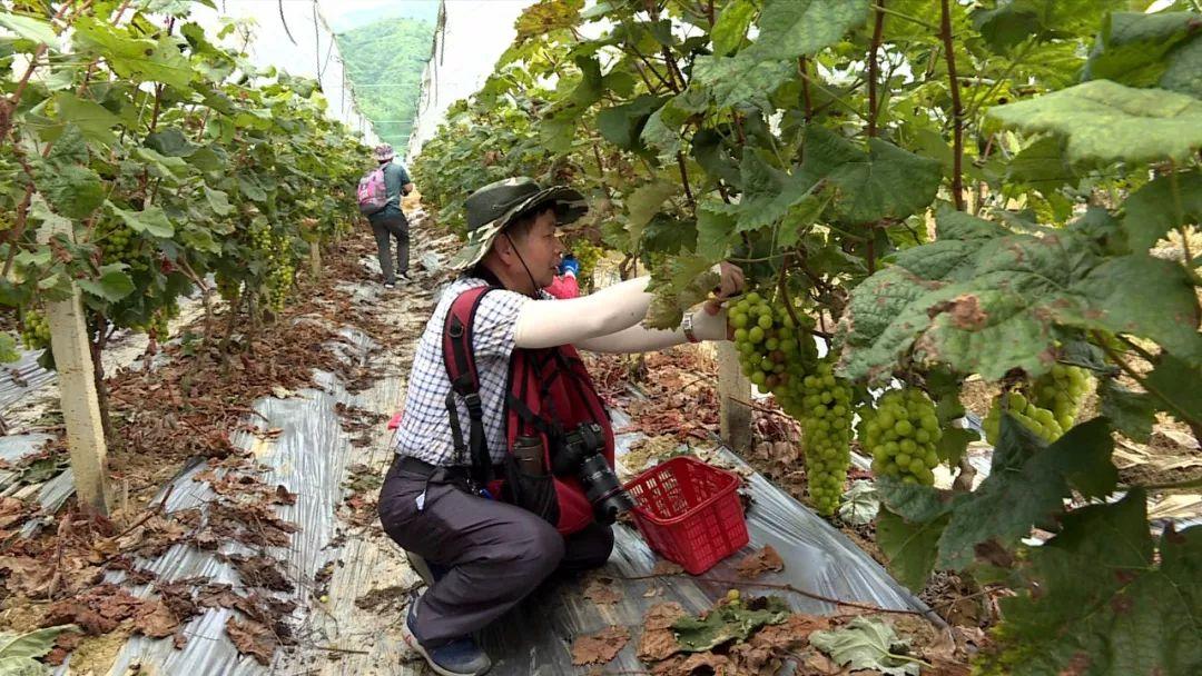 美味的葡萄成熟了!属于河源人的有机葡萄文化节来啦!(图3)