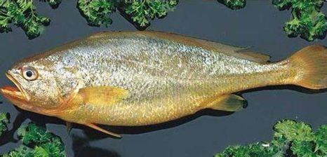 【海洋科普】鱼类的声音 (图1)