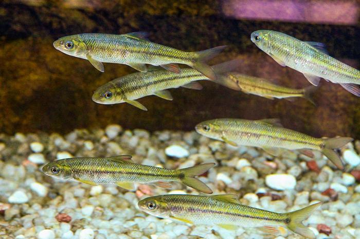 河里6种长不大的鱼,如今有钱难吃到,已成为农村人的乡愁(图2)