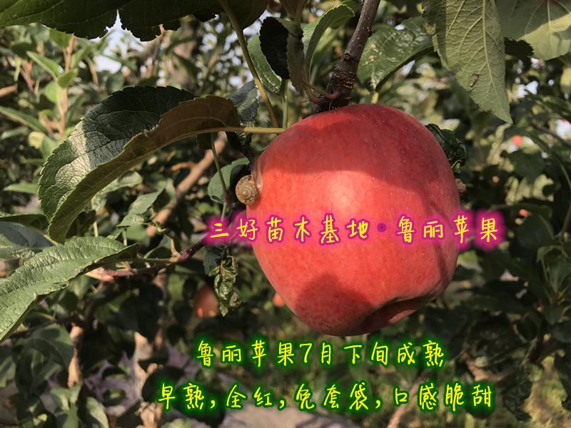 2019年鲁丽苹果熟了,红彤彤的鲁丽苹果惊艳了谁