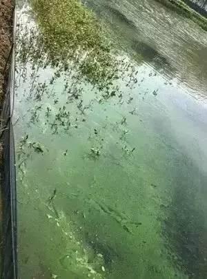 河蟹养殖中蓝藻的暴发原因探讨及应对策略