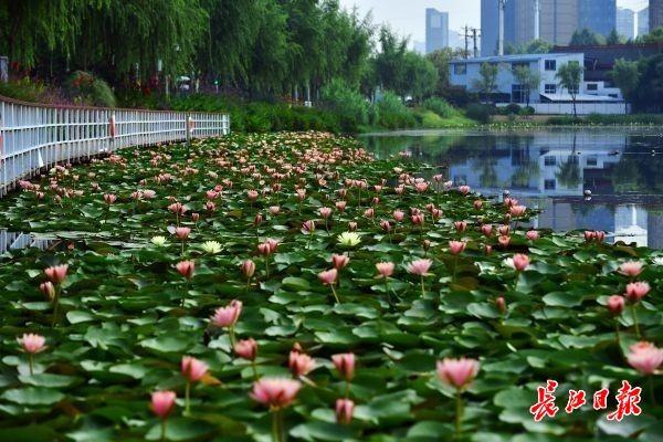 内沙湖公园湖面睡莲开满花朵