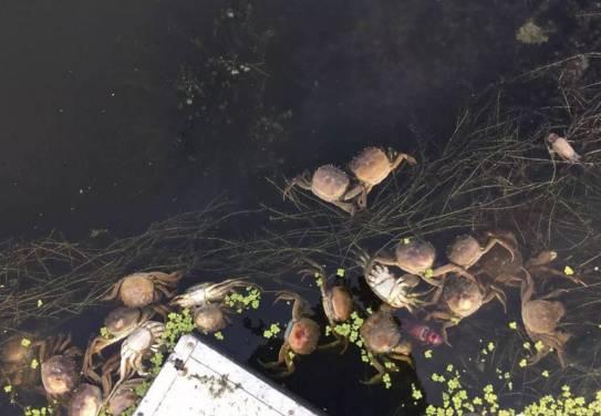 河蟹养殖冲刺期,如何有效应对池塘缺氧问题?