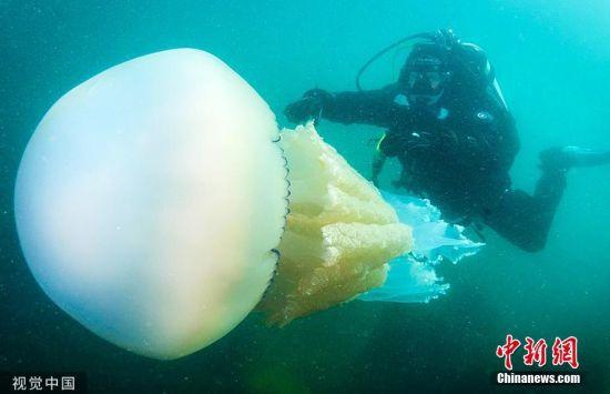 宠物-免费yoqq女子险与长1.5米巨型水母相撞 体型与人类差不多大yoqq资源(1)
