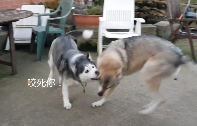 """宠物-免费yoqq一年前网友养了只二哈,后来又养了""""狼"""",结果狗子悲剧了yoqq资源(2)"""