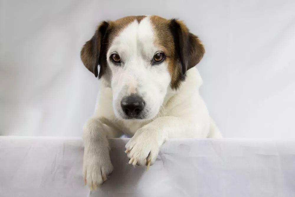狗狗研究所 | 毛孩子牙龈变黄,这是潜在危险预兆!
