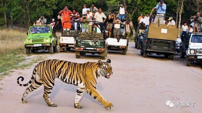 """宠物-免费yoqq边旅游边拍照就能保护狮子老虎?科学家已经开始""""拉拢""""游客了yoqq资源(8)"""