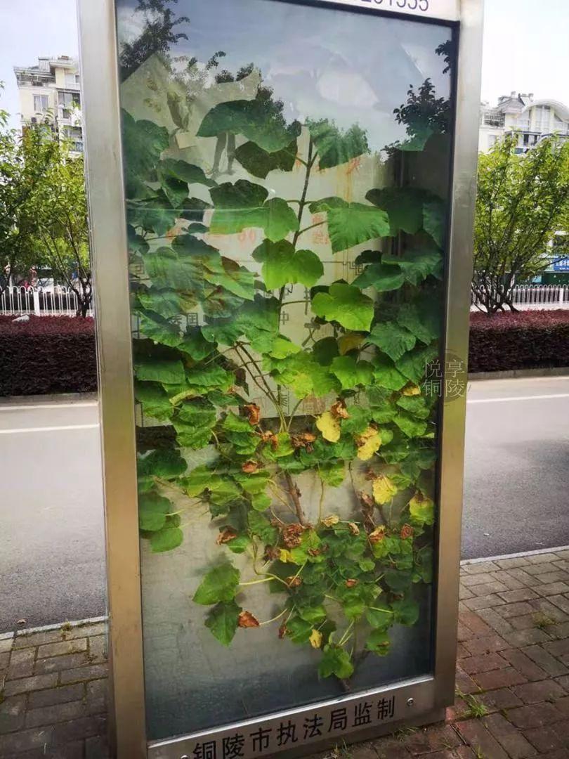 【行摄铜陵0724】立新公交站台的小树也太太太可爱了吧!