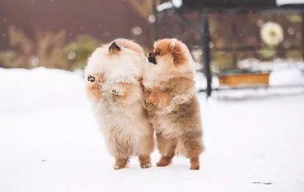 宠物-主人见别人家博美玩雪照很美,于是也带着自家博美玩雪拍照,结果.....(2)