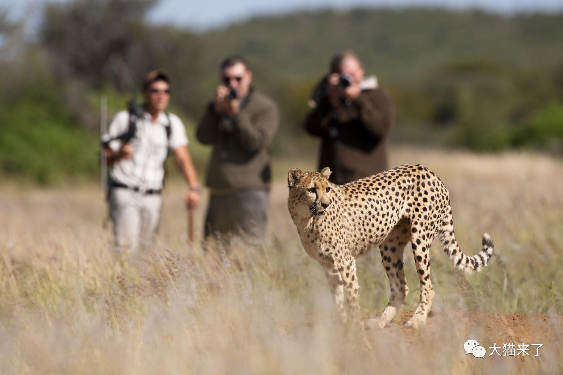 """宠物-免费yoqq边旅游边拍照就能保护狮子老虎?科学家已经开始""""拉拢""""游客了yoqq资源(1)"""