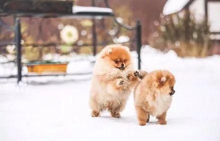宠物-主人见别人家博美玩雪照很美,于是也带着自家博美玩雪拍照,结果.....(1)