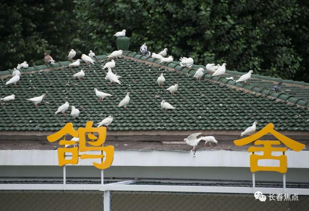 """广场鸽回来了!400 只""""白鸽王""""落户长春文化广场"""