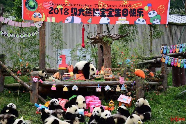 看完18只熊猫宝宝集体庆周岁现场,只想去rua一把