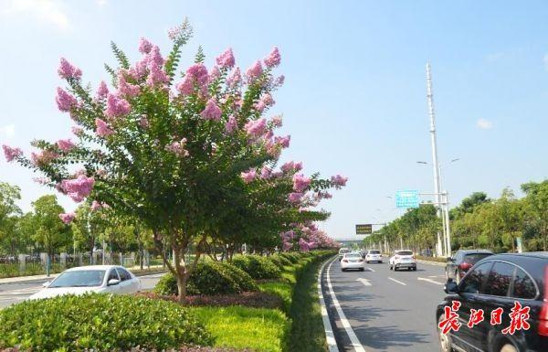 武汉这条路上紫薇正怒放,美如樱花盛景