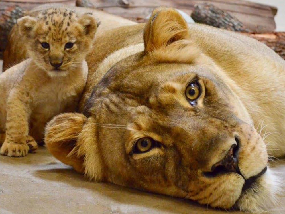 狮子王 小辛巴动画原型曝光,是美国动物园超萌小狮子Bahati
