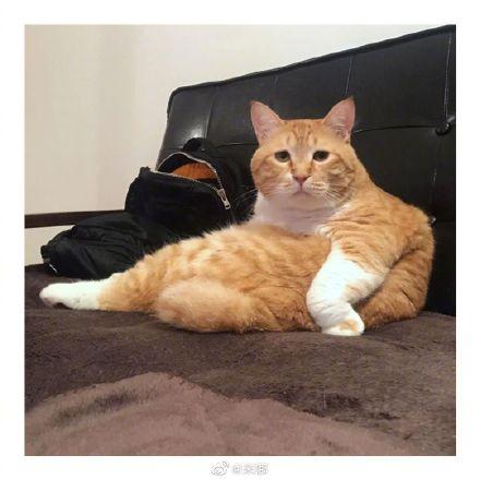 十个橘猫九个胖,还有一个变成猪了…大橘为重不是没有道理的…