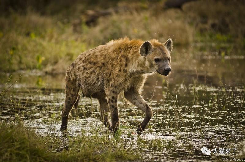 """宠物-免费yoqq边旅游边拍照就能保护狮子老虎?科学家已经开始""""拉拢""""游客了yoqq资源(6)"""