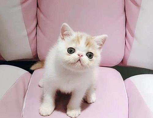 宠物猫金渐层品种图片