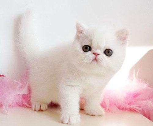 金吉拉猫咪多少钱一般图片
