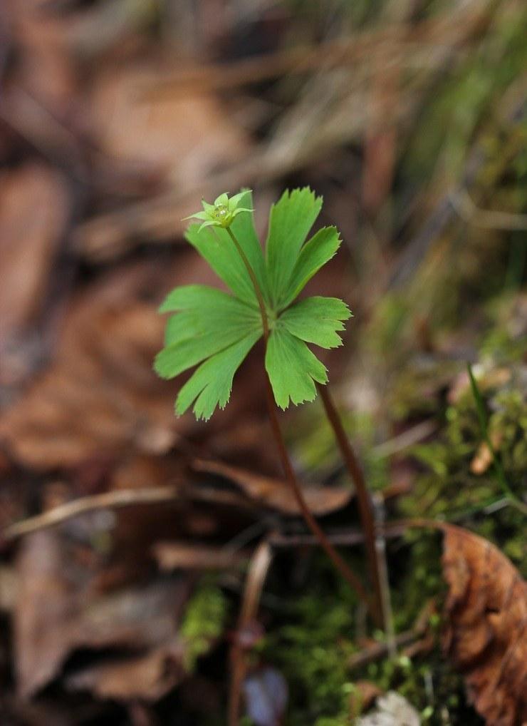 世界上最孤独的植物,终生只长一片叶子,只开一朵花