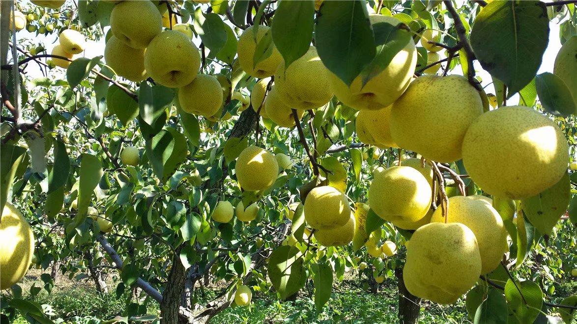 乾县泔河酥梨荣登全国农产品地理标志产品