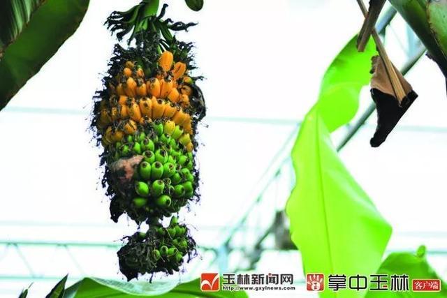 产自五彩田园!一簇香蕉起拍价699元,它究竟有什么特别之处?