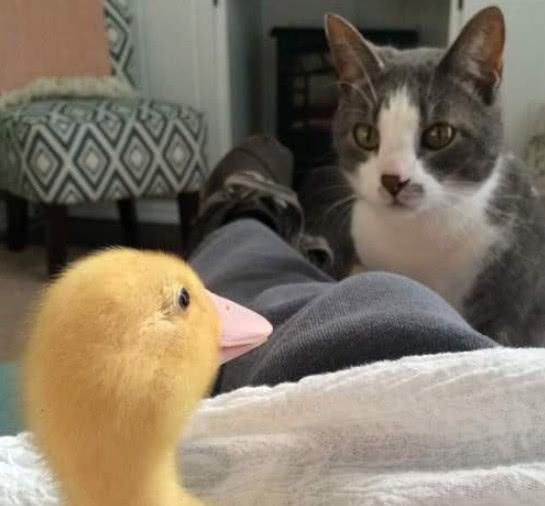 小鸭子们的猫妈妈,小鸭子:嘎嘎,妈妈你要去哪呀