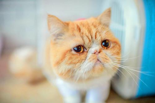 【奇妙の猫咪物语】加菲猫脸不起腮,加菲猫脸没腮帮子