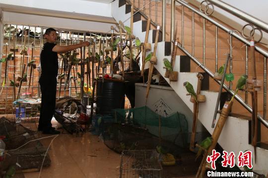 云南西双版纳查获野生鹦鹉鸟84只 全部放归自然