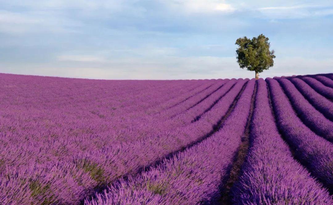 一、普罗旺斯的薰衣草园