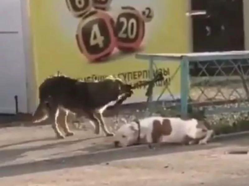 比特犬被綁住,流浪狗見義勇為:別怕,我來救你!-Dog Time