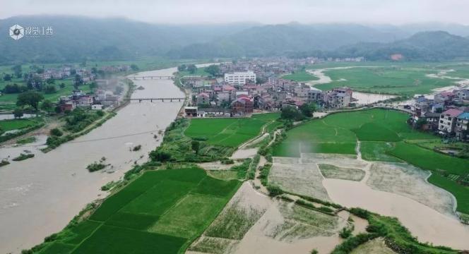 江西308万亩早稻受灾减产!洪水退后,农户开始自救!由晚稻改种早稻