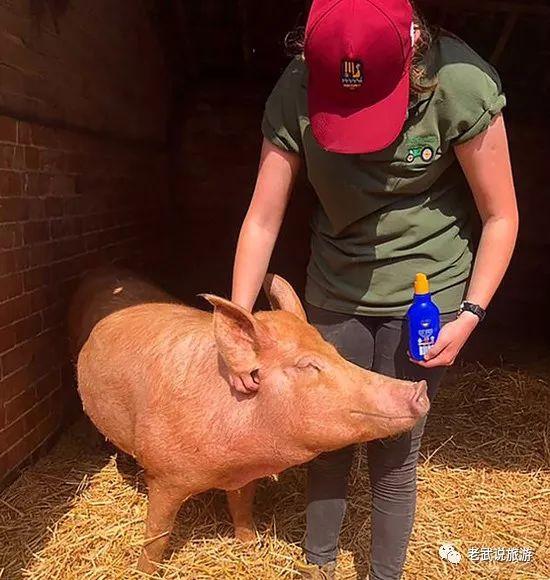 高温预警!在英国,都给猪涂防晒霜啦!其实最奢侈的养猪大法在这里!
