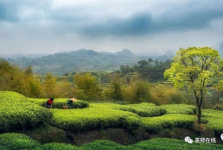 白茶特有品质的形成与价值
