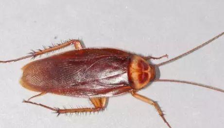 为什么蟑螂叫打不死的小强?该如何防治它...