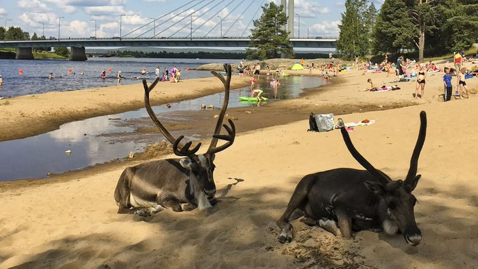 """北极圈""""圣诞老人故乡""""气温飙升 驯鹿热得跑到海滩避暑"""