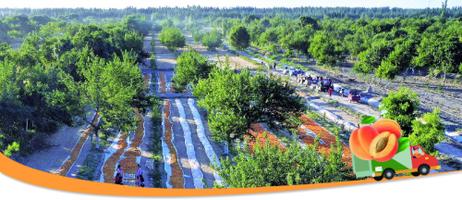 <b>【经济视野 · 第一观察】从鲜杏旺销内地看特色农产品出疆</b>