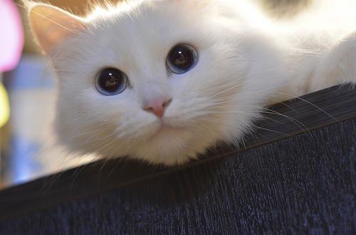 猫思春吃什么药,猫猫思春用啥药可控制